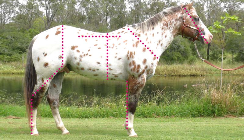 Evaluating the conformation of the Sportaloosa