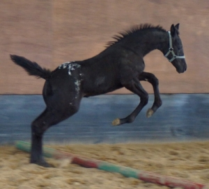 2015 Black Blanket Filly