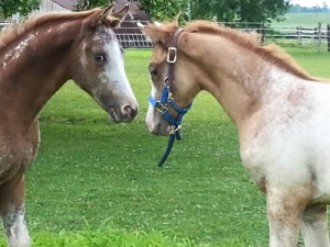 2015 Foals for Sale