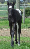 Colt by Cayuse Confewsion