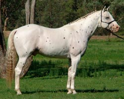 Appaloosa Hanovarian stallion Cayuse A Grand Illusion