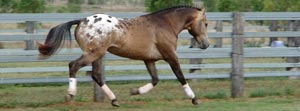 The sound, sane, smooth and spotted Sportaloosa