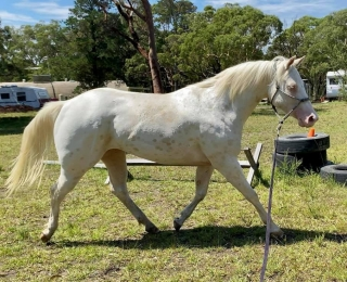 CREMELLO LEOPARD FILLY
