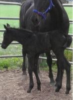 black filly