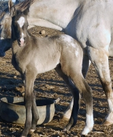 First foal by Cayuse Iron Duke