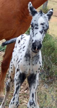 Cayuse? Black leopard colt